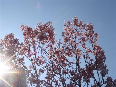 11_桜.jpg