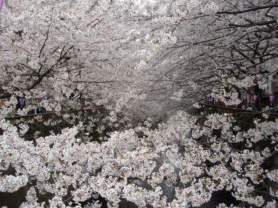 00・目黒川の桜.jpg